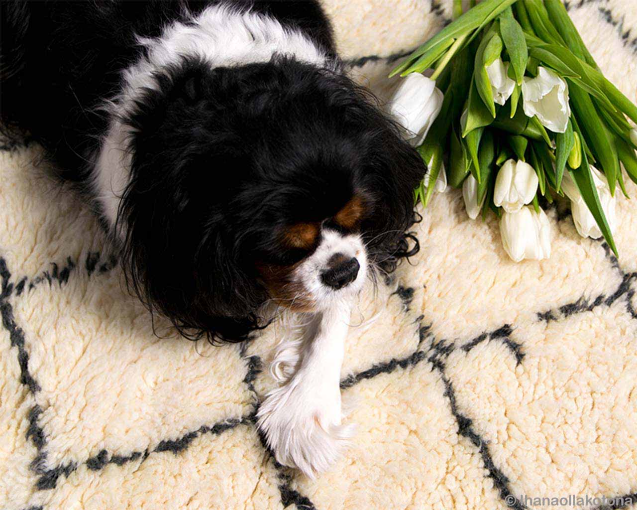 beautiful black and white dog and tea rose fresh living room rugs
